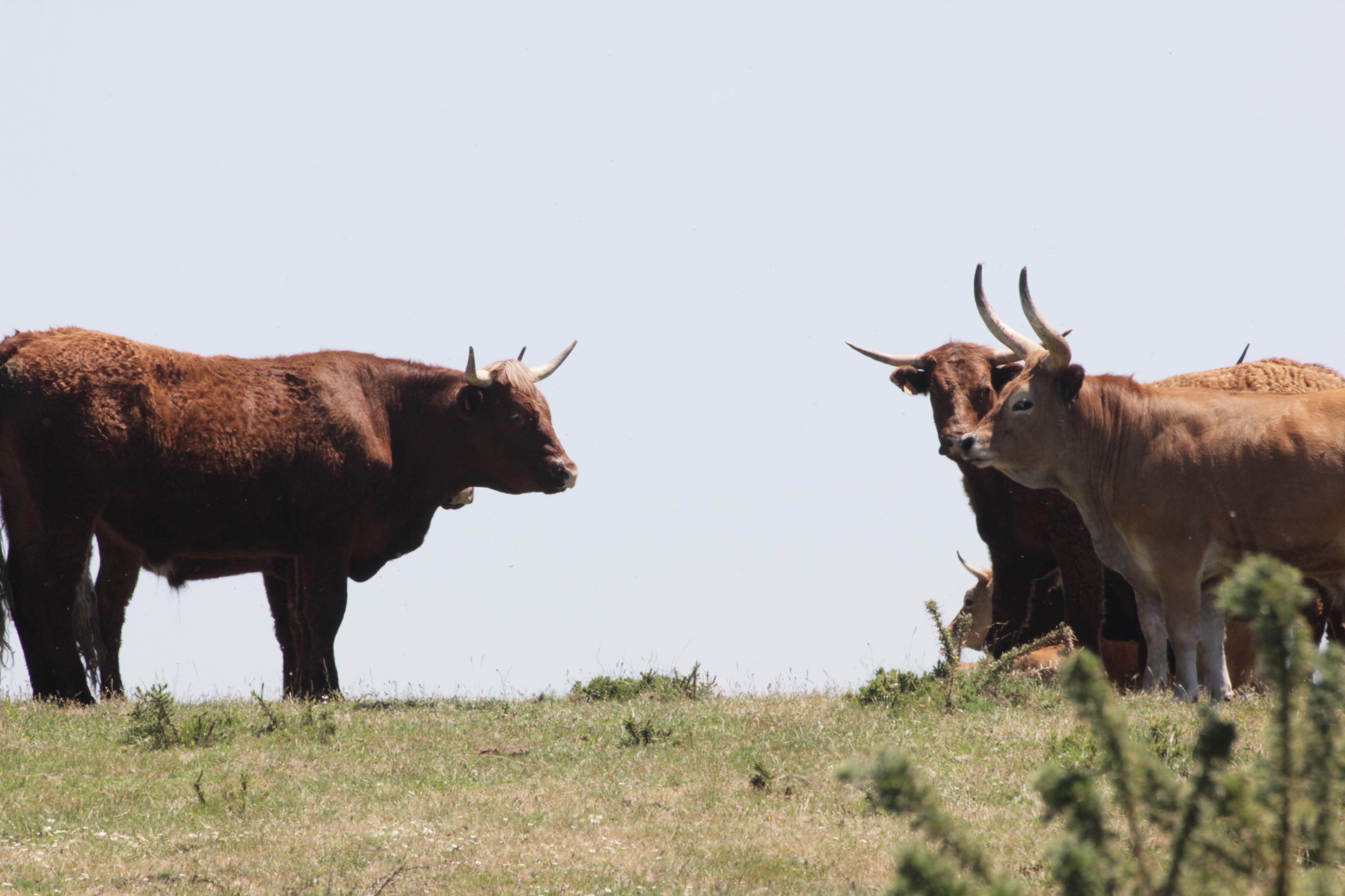 Vacas francesas en lugar de autóctonas galegas