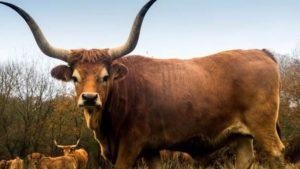 vaca cachena galicia